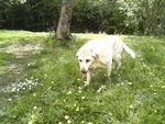 Noémie (Type Labrador sable) 61749430_p