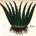 Genial Aloe