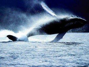 baleine_sautant