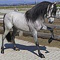 Le cheval <b>Pur</b> Race Espagnole