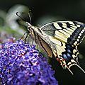 La star incontestée des papillons du jardin