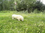 Noémie (Type Labrador sable) 61749354_p