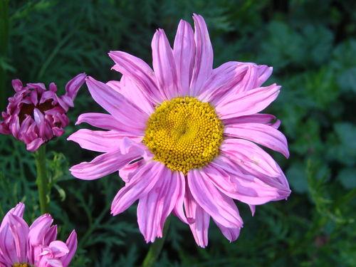 2008 06 14 Une fleur de pyrèthre de Robinson rose
