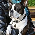 Havane boston terrier