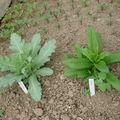 2008 05 13 Un plant de pavot bleu et de phlox sous serre