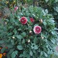 2008 09 01 Mon dahlias rouge et blanc qui fleurie
