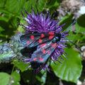 Papillons de l'été: zigène transalpine