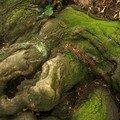Un châtaignier des jardins de kensington