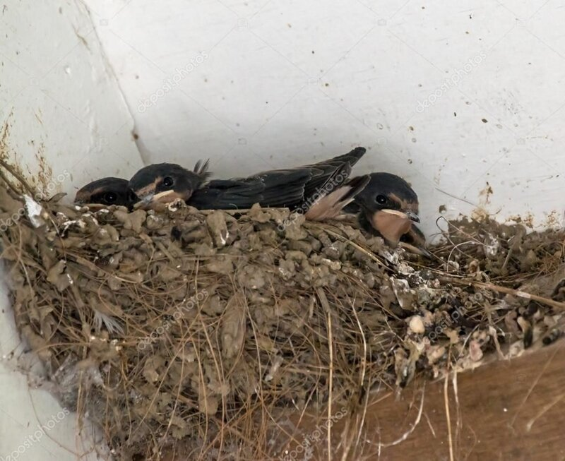 depositphotos_51622175-stock-photo-barn-swallow-nest
