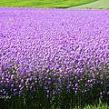 Tout un champ de fleurs - giroflées mauves !