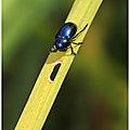 Galéruque de l'aulne, la chrysomèle de l'aulne : Agelastica alni