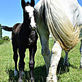 Poulain percheron