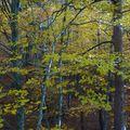 2009 10 31 Dans un bois d'hêtre (fayard)