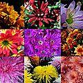 <b>Chrysanthèmes</b> pour la Toussaint