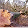 Coupe de bois en forêt de rambouillet