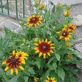 2008 07 29 Mes rudbeckias en fleur