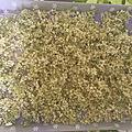 Récolte de <b>fleurs</b> de sureau noir ce dimanche