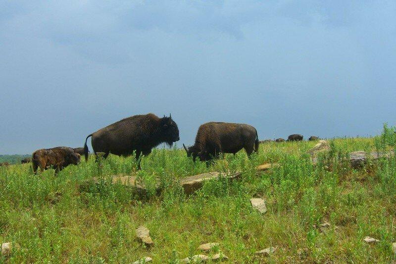 bison14