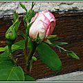 Boutons de roses 290415