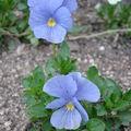 2008 04 24 Deux fleurs bleu de pencées vivace