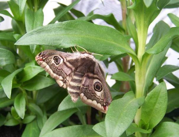 Saturnia pavonia (Petit paon de nuit)