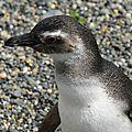 Pingouin de magellan Canal de Beagle