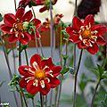 Ma collection de dahlias dans mon jardin...