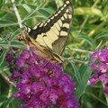 Papillon d'Allier !