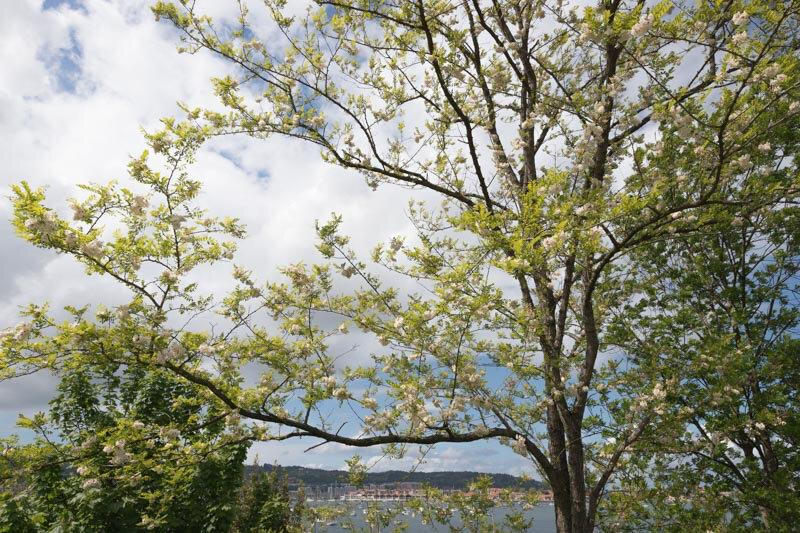 floraison des acacias_