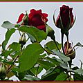 Roses rouges 3004152