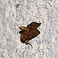 FAMILLE DES : Limacodidae