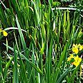 Iris aquatiques 2804166