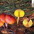 Gymnopilus_liquiritiae_1989_1022montmicroMDB