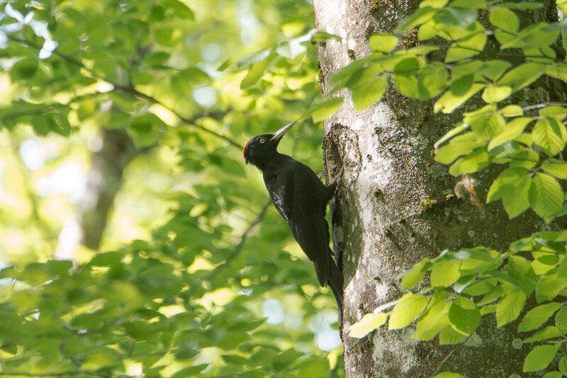 pic noir femelle