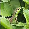 <b>Lézard</b> <b>vert</b> occidental : Lacerta bilineata