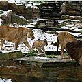Le vieux lion mâle du zoo d'<b>Anvers</b> est mort