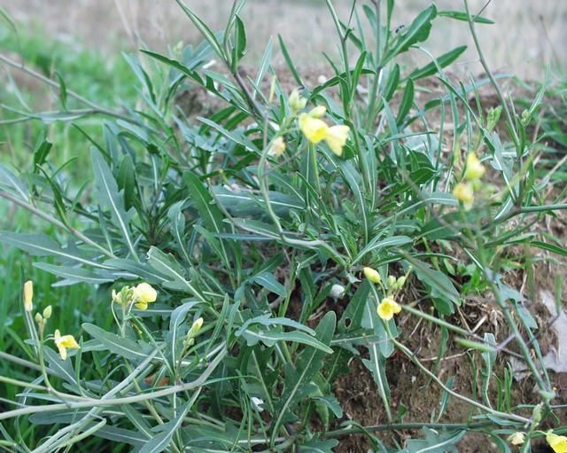 Plantes sauvages la roquette les jardins sauvages d 39 audra - Cuisine plantes sauvages comestibles ...