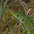 lézard vert 3 (femelle)