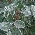 L'effet du gel n'est pas le même sur toutes les plantes