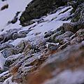 lagopéde alpin 49