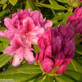 Rhododendrons en boutons