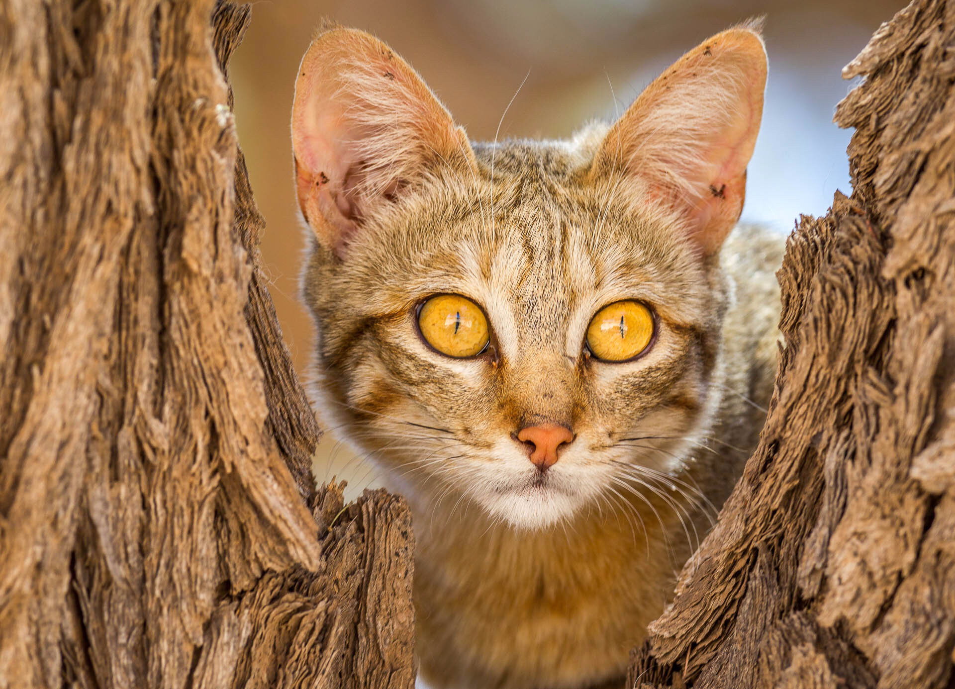 Chat sauvage africain