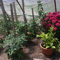 2009 06 07 Sous la serre, tomates, citronnier et oeillet de poètes