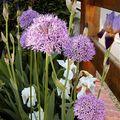 Allium 'Gladiator et Iris des jardins