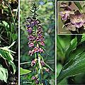 Epipactis pourpre noirâtre (Orchidacées)