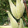 Perruches Asclépia Cornuti oct 2013