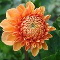 2008 08 25 Une fleur de dahlias qui fleurie