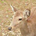 Un des milliers de daims a Nara, Japon /One of the thousands deersin Nara Japan