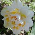 Narcisses doubles parfumés…