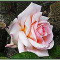 Rose rose 3004153